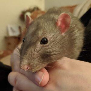 Chade the rat